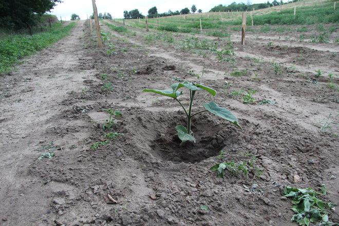 plantacja