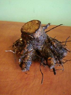 zdjęcia sadzonek drzewa tlenowego